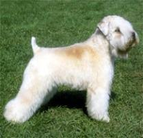 Do Wheaten Terriers Shed by Adopt A Soft Coated Wheaten Terrier Dog Breeds Petfinder