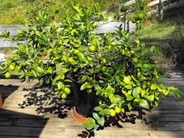 how to grow a lemon tree indoors lime tree gardening