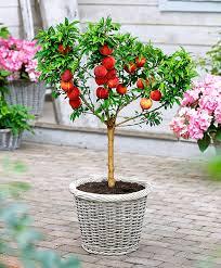 Christmas Tree Aphids Uk by Dwarf Peach U0027bonanza U0027 Http Www Spaldingbulb Co Uk Product Dwarf