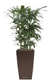 plante de bureau le rhapis excelsa la location de plantes s