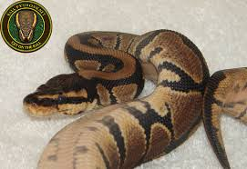 Snake Skin Shedding Frequency by The Shedding Process