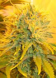 marijuana grow lights the secret about led or hps ls