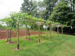 Best 25+ Grape Vine Plant Ideas On Pinterest | Grape Plant ... Small Plot Intensive Gardening Tomahawk Permaculture Backyard Vineyard Winery Grapes In Your Own Backyard Lifestyle Bucks County Courier More About The Regent Winegrape Growing Your Grimms Gardens Trellis With In The Yard At Home How To Grow Grapes Steemit Seedless Stark Bros Grape Orchards Pinterest Orchards Seattle Wa Youtube Grown Grape Vine And Trellis Stock Photo Royalty First Years Goal