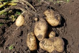 6 Different Methods Of Growing Potatoes In Your Backyard Texas Garden The Fervent Gardener How Many Potatoes Per Plant Having A Good Harvest Dec 2017 To Grow Your Own Backyard 17 Best Images About Big Green Egg On Pinterest Pork Grilled Red Party Tuned Up Want Organic In Just 35 Vegan Mashed Potatoes Triple Mash Mashed Pumpkin Cinnamon Bacon Sweet Gardening Seminole Pumpkins And Sweet From My Backyard Potato Salad Recipe Taste Of Home