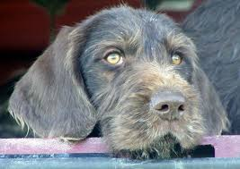 German Wirehaired Pointer Shedding by Idawire German Wirehaired Pointers Gwp Faqs