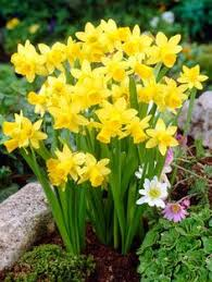 narcissus daffodil mount plant in patio border for next