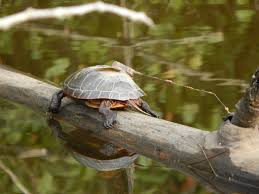 Snapping Turtle Shell Shedding by Painted Turtles Of Point Au Roche State Park In Clinton County