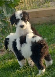 Guard Dogs That Dont Shed by Sheepadoodle Puppies At Play Our Next Puppy 2 Yrs Out