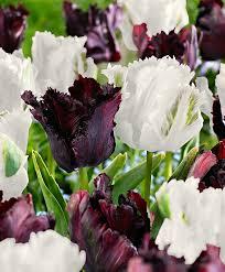 buy parrot tulips black parrot white parrot bakker
