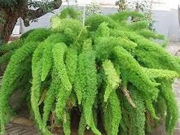 asparagus arten pflege der pflanze pflanzenfreunde