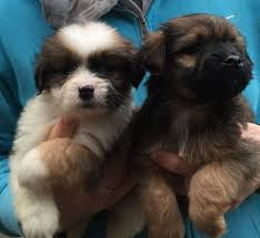 Shih Tzu Lhasa Apso Shedding by Lhasa Apso X Tibetan Terrier Puppies Abergele Conwy Pets4homes