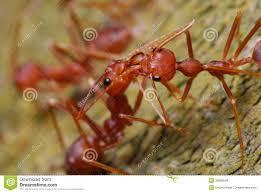 rote ameisen stockfoto bild makro rubin soldat 32968640