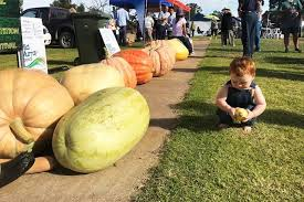 Heaviest Pumpkin Ever by Giant Pumpkins On Show As Locals Compete At The Cadell Harvest