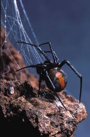 Best 25+ Redback Spider Ideas On Pinterest | Black Widow Spider ... Spiders At Spiderzrule The Best Site In World About Spiders 5 Venomous Found Colorado Outthere 109 And Webs Images On Pinterest Nature Ohios Biting Spidersrule The Barn Spider Pets Cute Docile Bug Eric Sunday Western Spotted Orbweaver Araneus Gemmoides Wikipedia Poisonous Georgia