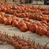 Pumpkin Patches In Bakersfield Ca by Pumpkin King Pumpkin Patch 59 Photos U0026 18 Reviews Festivals