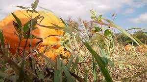 Pumpkin Patch Sioux Falls Sd by Pumpkin Festival Brings Big Crowd To Canton Kdlt