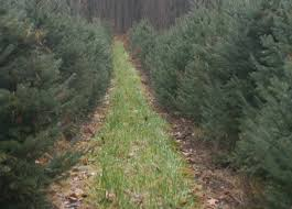 Fresh Christmas Trees Types by Cut Your Own Trees For Christmas In The Hudson Valley
