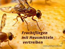fruchtfliegen obstfliegen effektiv bekämpfen philognosie