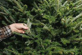 Balsam Christmas Trees Real by Growing Together Let The U0027fir U0027 Fly In Battle Between Real And