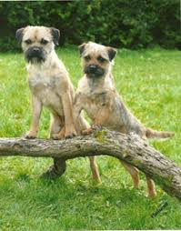 Do Border Terriers Shed by Adrival Border Terriers