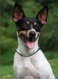 Rat Terrier Excessive Shedding by 481 Best Images About Pets On Pinterest Homemade Dog Treats
