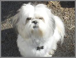 lhasa apso puppy shedding 188 best llasa apsos images on lhasa apso shih tzus