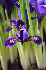 iris reticulata harmony dutchgrown