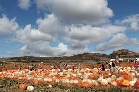 Irvine Pumpkin Patch Hours by Tanaka Farm Pumpkin Patch O C Local Farm U2013 One Cool Thing Every