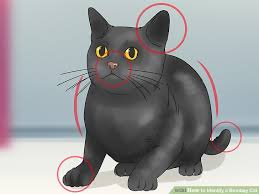 bombay cats how to identify a bombay cat 9 steps with pictures wikihow
