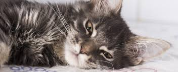 cat runny nose does your cat the sniffles petplace