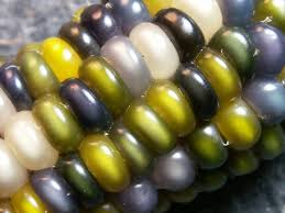 Glass Gem Corn, Glass Gem, Carl's Glass Gem, Carl's Glass Gem Corn ... Patristics Scholar Michel R Barnes Weighs In On The Intra Carl Reiner Signs His Novel Archives Whale Oil Beef Hooked Whaleoil Media Rainbow Corn Oklahoma Farmer Breeds Tweets By Clbarnes06 Twitter Carl Barnes Clrbarnes25 This Lnatural Native Corn Is Bejeweled With Brilliantly C Lowry Md Invested L Nelson Frank Warren Reacts To Wins From Carl Frampton Paddy Barnes Te Belfast Northern Ireland 23 Aug 2015 Reilly Chairperson Keller Williams Lincoln