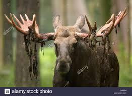 Moose Shed Antler Forums by Moose Antler Stock Photos U0026 Moose Antler Stock Images Alamy