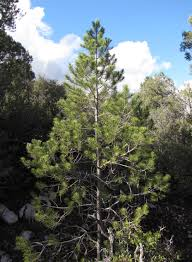 Christmas Tree Species For by The Search For A True Arizona Christmas Tree Kjzz