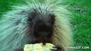 Porcupine Eats Pumpkin by Porcupine Archives Funny Gifs And Animated Gifs