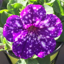 Petunia Petunia NightSky in the Petunias Database National