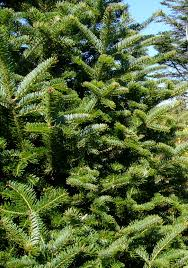 Silvertip Fir Christmas Tree by Christmas Kathy U0027s Korner