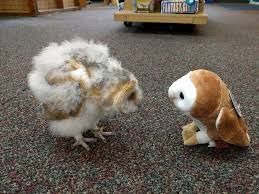 Baby Barn Owl, Whisper, Meets A Stuffed Animal Barn Owl : PartyParrot Barn Owl Focus On Cservation Best 25 Baby Ideas On Pinterest Beautiful Owls Barn Steal The Show As Day Turns To Night At Heartwood Family Ties Owl Chicks Let Their Hungry Siblings Eat First The Perch Uncommon Banchi Baby Coastal Home Giftware From Horizon Stock Image Image Of Small Young Looking 3249391 You Know Birdnote Banding By Alex Lamoreaux Nemesis Bird