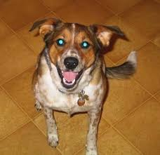 Do Blue Heeler Border Collies Shed by Border Heeler Dog Breed Information And Pictures