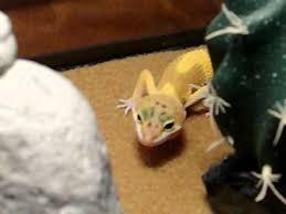 Crested Gecko Shedding Behavior by Leopard Gecko Behavior Youtube