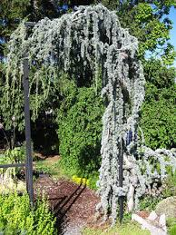 Picture Of A Blue Atlas Weeping Conifer