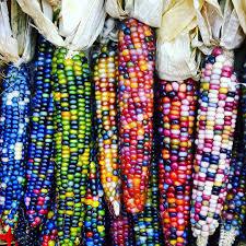 This Stunning 'Glass Gem Corn' Is Bred And Grown From Heritage ... Prettiest Popcorn I Ever Did Grow The Unfettered Fox Glass Gem Corn Littlegirlstory Glass Gem Corn The Cover Of Our Whole Seed Catalog Carls Flint Is An Unbelievably Stunning Bred By Part Hdenosaunee The Iroquois Confederacy Tuscarora White Oliveloaf Design Afbeeldingsresultaat Voor Peru Brazil Colored Pinterest 9 Best Sweetcorn Images On Color 2 Cob And Maze Story Behind Business Insider 1293 Indian Fruit Pink Popcorn