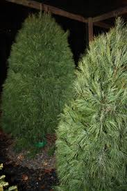 Leyland Cypress Christmas Tree by Our Trees Spillman U0027s Christmas Trees