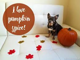 Feeding Dog Pumpkin Constipation by Diy Frozen Pumpkin Spice Dog Treats Irresistible Pets