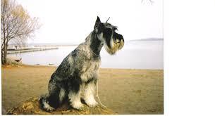 Do Giant Schnauzer Dogs Shed Hair by Faq U0027s