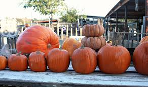 Pumpkin Picking Pa by It U0027s Not Too Late To Hit One Of Our Favorite Pumpkin Patches In So