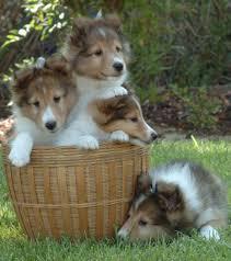 shelties summerbrook shelties el cajon ca ball of cuteness