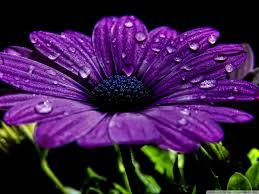 Beautiful Purple Flower 4K HD Desktop Wallpaper For Ultra