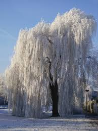 What Kind Of Aspirin For Christmas Tree by Weeping Willow Weeping Willow Has Always Been My Fav Even As A