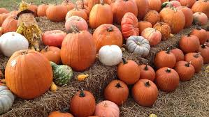 Pumpkin Patches In Okc by Finding The Perfect Pumpkin At Orr Family Farm Kokh