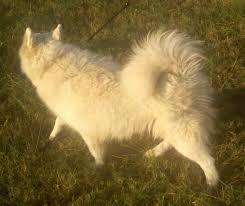Do Samoyed Dogs Shed Hair by Daystar Samoyeds Grooming The Samoyed